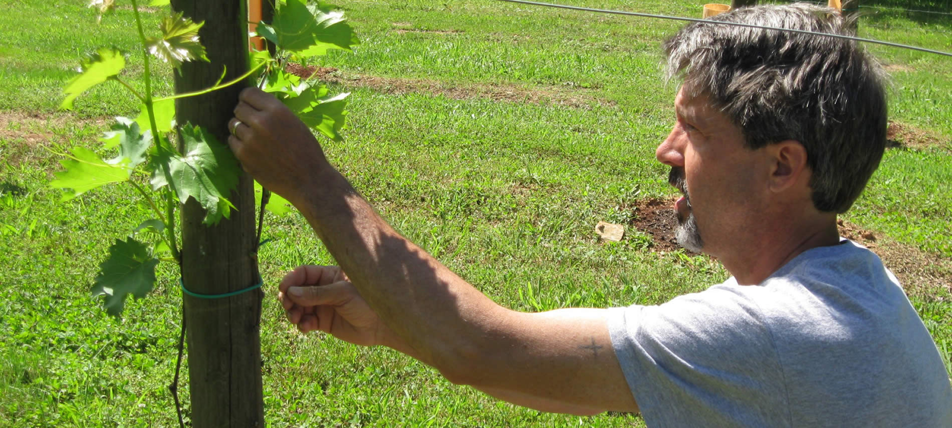 Tour guide tending young spring vines at Arcady Vineyard